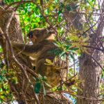 Ein Koala sitzt auf dem Baum