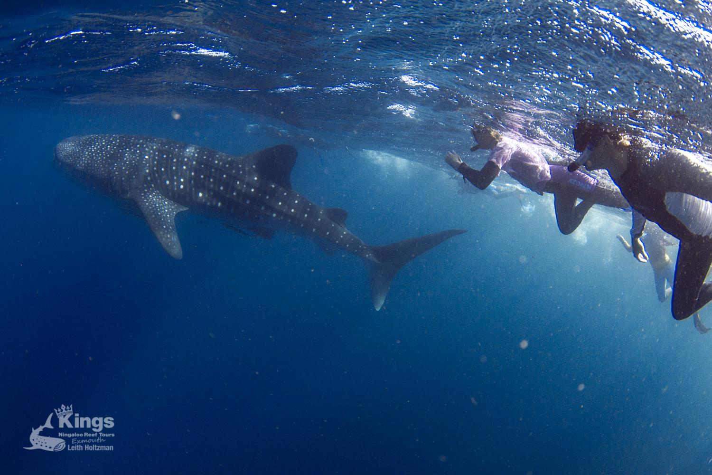 Schwimmen mit Walhaien in Exmouth war unser absoluter Traum