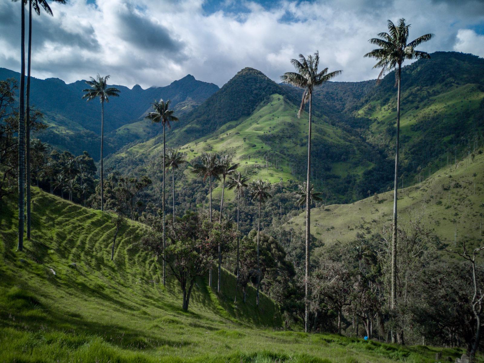 das Valle de Cocoa: hier stehen die höchsten Palmen der Welt!